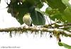 Barred Becard (Michael Woodruff) Tags: bird southamerica birds ecuador birding barred fbwnewbird fbwadded becard pachyramphus nwecuador oldnonomindord nonomindo barredbecard pachyramphusversicolor