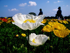 Pope field (shinichiro*@OSAKA) Tags: flower macro japan tokyo poppy grdigital crazyshin 2007 1on1 grd 1on1flowers 1on1nature