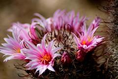 Pincussion Cactus Flowers (Eric Vondy) Tags: arizona cactus phoenix desertbotanicalgardens anawesomeshot wowiekazowie