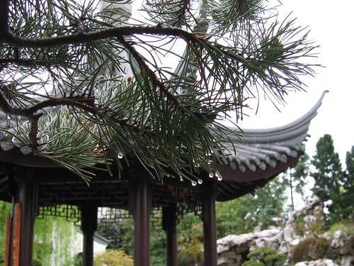 Water drops on evergreen needles, in the Chinese Garden