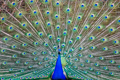 BT291 Male Peacock (listentoreason) Tags: bird nature animal canon favorites ef28135mmf3556isusm score40
