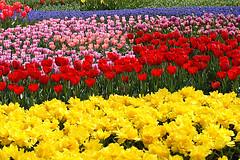 tulip garden (* Yumi *) Tags: flower explore tulip soe 昭和記念公園 blueribbonwinner shieldofexcellence impressedbeauty favoritegarden wowiekazowie superhearts