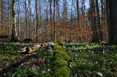 Spring (hkkbs) Tags: nature forest spring sweden natur skog 100views 1224mmf4g 400views 300views 200views sverige 500views nikkor westcoast vår anemonenemorosa windflower vitsippa woodanemone naturesfinest västkusten nikond200 europeanthimbleweed