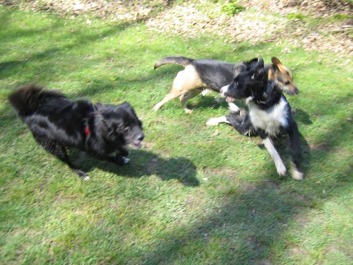 Border collies at play