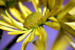 Tango in the sun (SolsticeSol) Tags: flowers macro floral yellow closeup petals spring yellowflower springflowers yellowflowers springtime beautifulflowers prettyflowers prettyflower flowerimage picturesofflowers springtimeflowers yellowfloweragainstbluesky yellowflowerwithbluebackground beautifulflowerimage beautifulflowerpictures beautifulflowerimages beautifulfloralimages