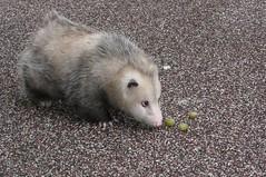 Big opossum