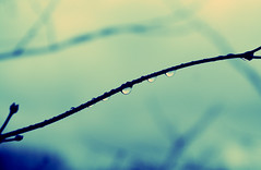 Japenese Maple Twig (Paul Octavious) Tags: spring maple twig droplet aura japenese aplusphoto