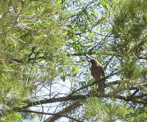 hawk in the Cove