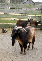 Sheepshearing9