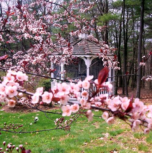 gazebo thru pink blossoms