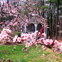 gazebo thru pink blossoms
