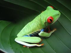 [フリー画像] 動物, 両生類, カエル, 200807141300