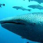 Whale Shark at Koh Tao Island, Thailand
