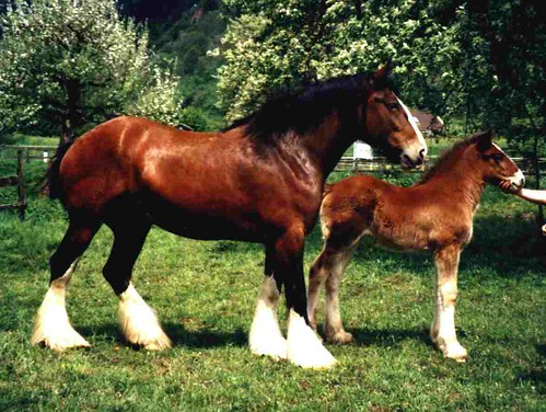 shirehorse