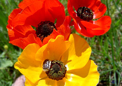 Two Reds and a yellow with a....bug! (A. Saleh) Tags: flowers red lebanon macro nature yellow interesting sony explore anemone sonycybershot p72 may3 naturesfinest sonydscp72 welltaken explorepage asaad outstandingshots flickrsbest asaadsaleh inborn assaad abigfave ishflickr anemonecoronariacoronaria