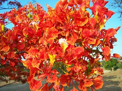 Fiery Fire Tree Flowers