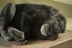Sleepy chimpanzee