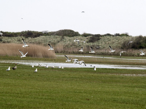 Vlieland: Möwen; nature reserve