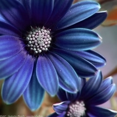 feeling blue (atomicshark) Tags: leica blue flower color macro nature lumix petals panasonic explore fz30 dmcfz30 splendiferous flowerotica atomicshark explore96 anawesomeshot impressedbeauty superaplus aplusphoto flickrdiamond superhearts theunforgetablepictures