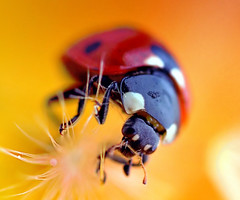 Beetle (!.Keesssss.!) Tags: flower netherlands horizontal closeup insect outdoors photography day wildlife nopeople dandelion extremecloseup ladybug freshness gettyimages singleflower royaltyfree movingup oneanimal fragility highangleview animalthemes theflickrcollection keessmans 0030ksgetty