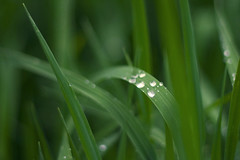 family party (myfear) Tags: green water grass drops dof searchthebest explore soe abigfave ef18 highestposition168onsaturdaymay122007