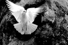 wishing you a peaceful sunday (cmedrang) Tags: peace searchthebest pigeon dove paz peaceful paloma blanca rbol vuelo 55200 10faves interestingness125 i500 cmedrang isawyoufirst diamondclassphotographer explore13may07