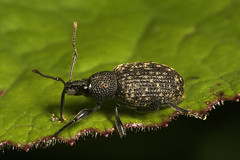 "Vine Weevil (Otiorhynchus sulcatus) #3 • <a style=""font-size:0.8em;"" href=""http://www.flickr.com/photos/57024565@N00/498285111/"" target=""_blank"">View on Flickr</a>"