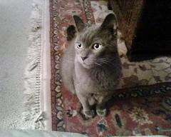 My special little guy: Alex (djzander1207) Tags: graycat
