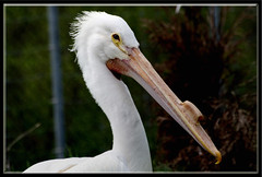 (TakenByTina) Tags: white bird animal pelican longbeak hookedbeak avianexcellence