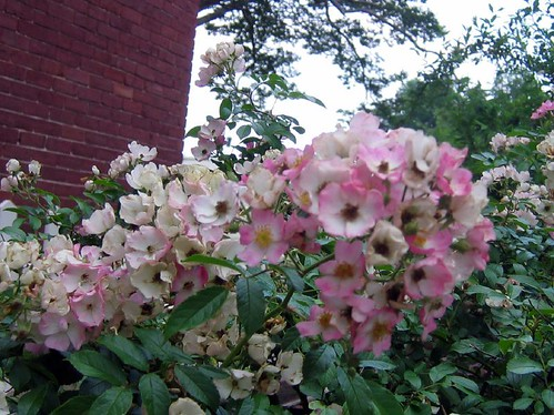 Antique Roses 2