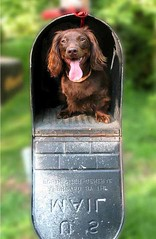 Ted-E-Mail (Doxieone) Tags: red dog brown green tongue mailbox book interestingness long published teddy chocolate dachshund explore final exploreinterestingness haired 1002 longhaired final1 topfavorite explored impressedbeauty flickrchallengegroup flickrchallengewinner 18512517 21317518 33120520 44134527 teddyset 10834643008 flickrchallengrwinner publishedinbook ddate