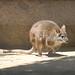 Parma Wallaby (Macropus parma)