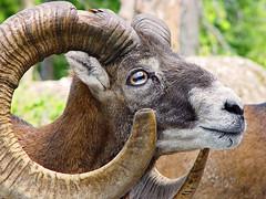Mouflon (Tambako the Jaguar) Tags: portrait male animal mammal zoo sheep horns moufflon arthgoldau mouflon faceoffwinner photofaceoffwinner photofaceoffplatinum pfogold