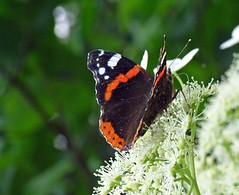 Red Admiral (Vanessa atalanta) (sillie_R) Tags: vanessa macro animal butterfly insect redadmiral explore naturesfinest vanessaatalanta impressedbeauty wowiekazowie