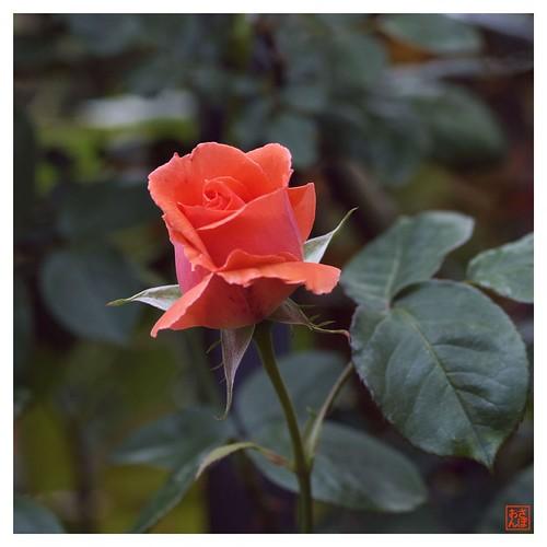 Rose 070520 #07