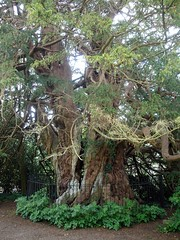 Ancient Yew in St Georges Churchyard - Crowhurst