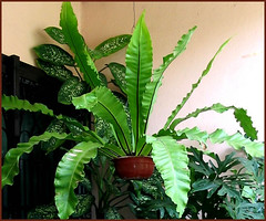 Bird's Nest Fern (Asplenium nidus) in hanging pot at our garden porch