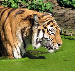big cat - by benefit of hindsight