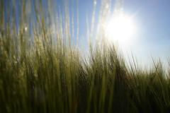 bl (e.v.r.i.e.l) Tags: voyage travel light sunset sky nature field animal sunrise landscape soleil wheat cereal ciel lumiere paysage animaux champ flore bl faune quvyhainautwalloniebelgiquecampagnespringsun
