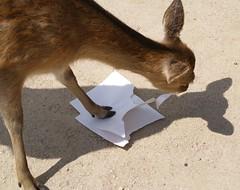 Miyajima Deer (scifience) Tags: japan hiroshima deer miyajima 日本 nihon itsukushima 広島 宮島 厳島