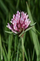 517461737 Red_Clover 2007-05-16_19:14:22 Murcott_Meadows