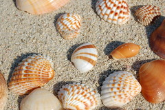 Sea shells 1 (rticotropical) Tags: ocean trip travel sea vacation orange brown sun shells white macro art texture tourism beach nature ecology animal closeup relax dead skeleton still beige marine dubai crystals quiet natural little random strokes stripes secret small group uae grain hard smooth sunny clam clean collection exotic shore shade tiny romantic environment grooves leisure isolation safe preserved nautical rough thin gaia fragile seashore aura cling jumeirah weak protected converge unseen invertebrate unnoticed brittle underthesea microcosm coarse overlooked