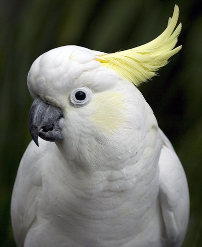 wallpapers of white cockatoo parrot information