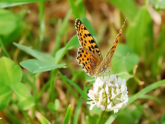 Queen of Spain Fritillary (HaPe_Gera) Tags: flowers flower macro nature fleur animal closeup fleurs butterfly germany insect wiese butterflies thuringia lepidoptera papillon insecte schmetterlinge fritillary klee queenofspainfritillary perlmuttfalter issorialathonia