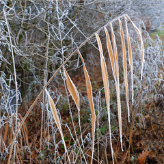 Cold decoration 1 (rotraud_71) Tags: winter raureif hoarfrost nature