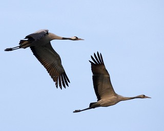 Common Crane pair in flight