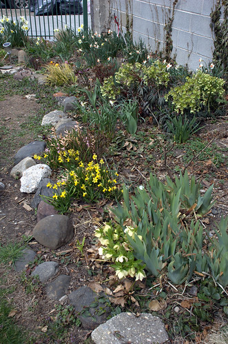 Hellebores and Narcissus in the North border, Summit Street Community Garden