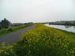 江戸川堤防の菜の花