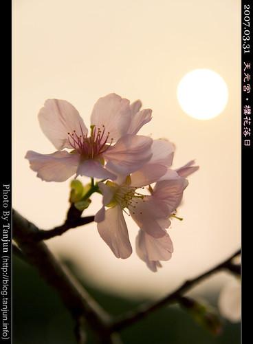 天元宮‧櫻花落日