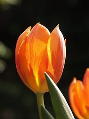 Me gustas Tu-lip II (rogiro) Tags: light orange flower yellow hope spring bright tulip bloom blooming manuchao booming megustastu